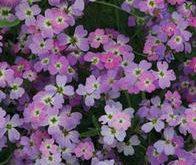 Matthiola Stock Virginian Spring Sparkle levkøj 20 cm