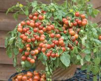Tomat Cherry Falls – dyrk i potter ude og inde.