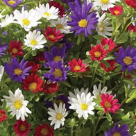 Asters Palette Mix
