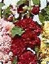 Althaea rosea Charters Stokrose blanding 200