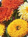 Morgenfrue officinalis Mix Calendula