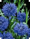 Centaurea Baby Blue