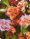Clarkia unguiculata Mølleblomst