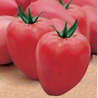 Tomat aflang bøf Cuor di Bue