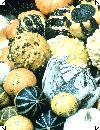 Cucurbita pepo Pyntegræskar