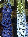 Delphinium Belladonna Pragtridderspore 160