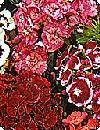 Dianthus barbatus Studenternellike blanding 30