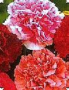 Dianthus caryophyllus Havenellike blanding 40