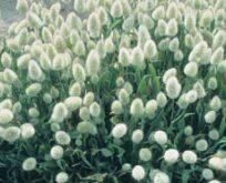 Sirgræs Lagurus ovatus Bunny Tails