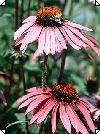 Echniacea purpurea Purpur solhat rosa 80