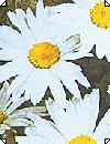 Leucanthemum Maikønigin Marguerit hvid