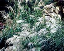 Sølv græs Miscanthus sinensis