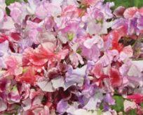 Lathyrus Wiltshire Ripple