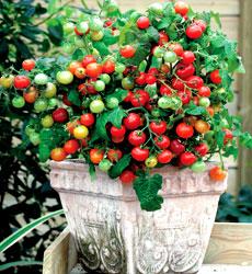 Tomat Cherry Maskotka