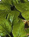 Spinat Medania F:1 stor pose