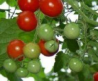 Tomat, Gartenfreude, kirsebærtomat