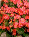 Begonia Sempflorens Rosa F:1 Isbegonia