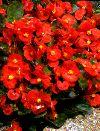 Begonia Sempflorens Rød F:1 Isbegonia