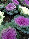 Brassica Oleracea. Prydkål.