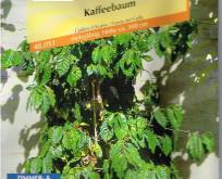 Coffea Arabica nana Kaffeplante