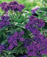 Heliotropium arbores/Marine Blue., Heliotrope, blåviolet 40