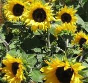 Helianthus Pacino Dværg-solsikke gul