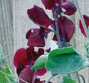 Lathyrus Solway Velvet mørkerød