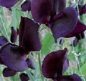 Lathyrus solw. Almost Black