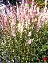 Pennisetum setaceum Lille Pampasgræs