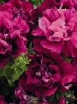 Petunia Dobbelt Duo Pink
