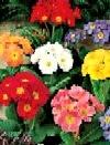 Primula storblomstret mix, large flowerd mix
