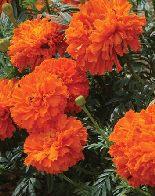 Tagetes Kees Orange