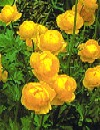 Trollius europaerus Engblomme gul 50 cm