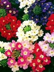 Verbena Compact Mix, blandede friske farver, 20 cm