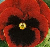 Viola Abendglut, Stedmoder, rødbrun med sort øje