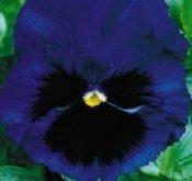 Viola Schweizer Kæmpe, Alpensee, blå m.sort øje. 20 cm.
