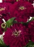 Zinnia Elegance vinrød frøkenhat