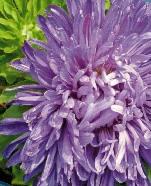 Asters Pompon Violet