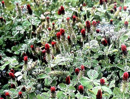 Miljøfrøblanding af jordkløver blodkløver og honningurt