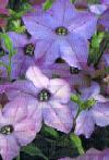 Nicotiana sirtobak, Blomstertobak blå
