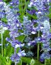 Salvia far. Fairy QueenTexas salvie 55 cm