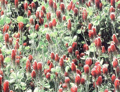 Blodkløver kvælstofsamler flot rød plante