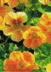 Nasturtium, Tropaeolum, Dværg Blomsterkarse, Alaska Sal.