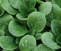 Salat, Feldsalat Dunkelgrüner Vol.  Valeriana locosta L