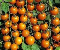 Sungold F1 tomat Cherry. lækker, sød, orange