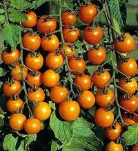 Tomat, Cherry, Sungold F1, lækker, sød, orange