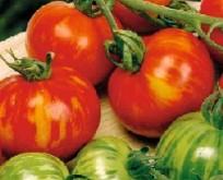 Tomat, Tigrella, rød-guldgul stribet, meget robust
