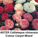 Asters Calli. chinensis Colour Carpet Mixed