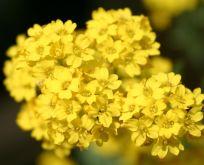 Aurinia saxatilis Goldkugel Guldslør