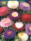 Asters Pompon